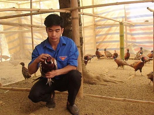 Ngoài trồng phật thủ, Xoa còn nuôi kết hợp gà ri và chim trĩ.