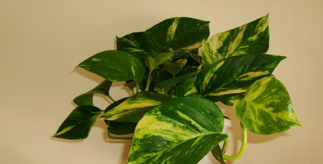 7 loại cây lọc thanh không khí nên trồng trong nhà để hỗ trợ sức khỏe