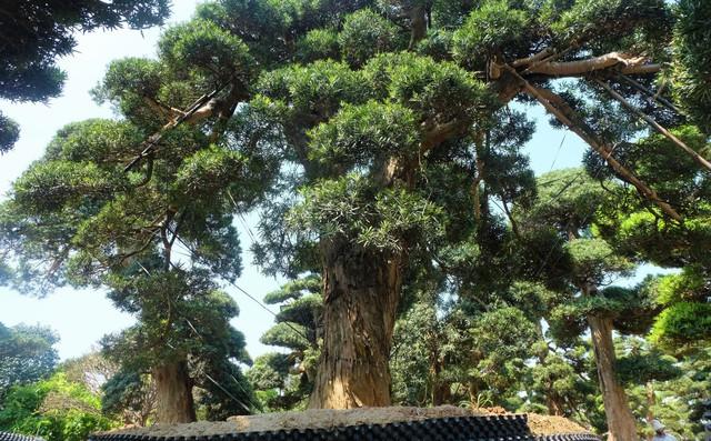 Vườn cây Nhật nghìn tỷ ở Hà Nội: 17 tỷ đồng cây tùng la hán 600 tuổi