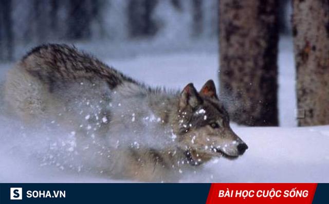 Thấy con sói bị thương, ra tay làm một việc, người đàn ông không ngờ điều tồi tệ ập đến