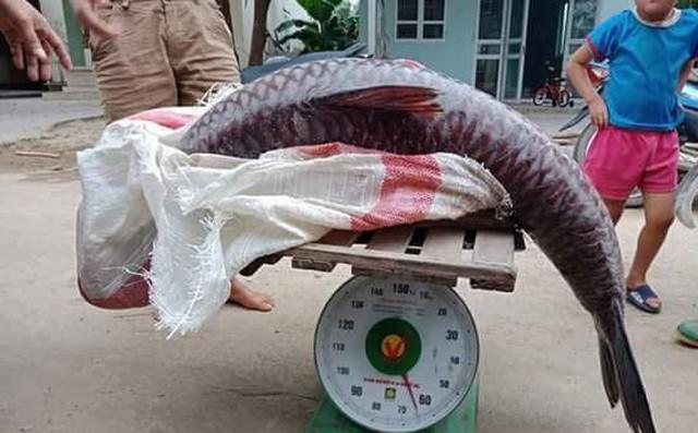 Yên Bái: Thêm một con cá trắm khổng lồ nặng 61kg sa lưới ngư dân trên hồ Thác Bà