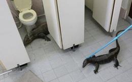 """""""Mặt cắt không còn giọt máu"""" khi phát hiện 2 con kỳ đà khổng lồ trong nhà vệ sinh"""