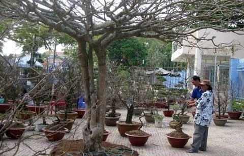 """Chiêm ngưỡng cây mai """"phu thê mẫu tử"""" giá hơn 200 triệu đồng"""