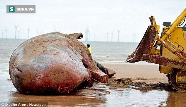 Lộ diện hung thủ bí ẩn khiến hàng loạt cá voi khổng lồ mắc cạn - Ảnh 1.