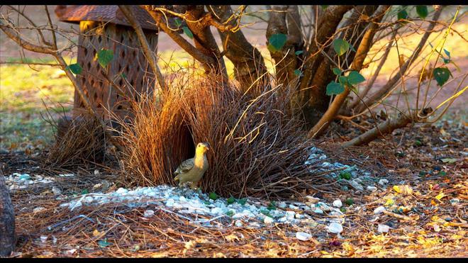 Đây là loài chim được mệnh danh là thánh tán gái của thế giới động vật, có trình độ quyến rũ bạn tình vô cùng thượng thừa - Ảnh 1.