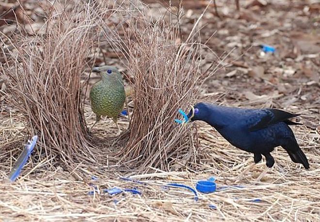 Đây là loài chim được mệnh danh là thánh tán gái của thế giới động vật, có trình độ quyến rũ bạn tình vô cùng thượng thừa - Ảnh 2.