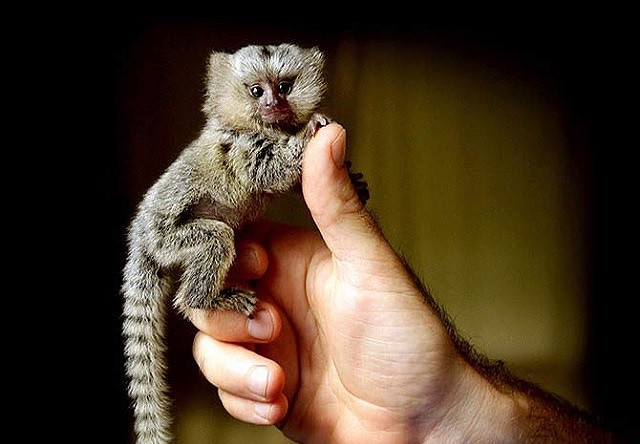 Mục sở thị loài khỉ nhỏ nhất thế giới - Ảnh 1.
