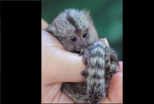 Mục sở thị loài khỉ nhỏ nhất thế giới - Ảnh 2.