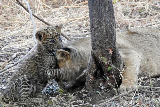 Báo đốm được sư tử mẹ nhận nuôi, chăm bẵm như con ruột, thậm chí còn sống cực kỳ hòa thuận với anh chị khác loài - Ảnh 2.