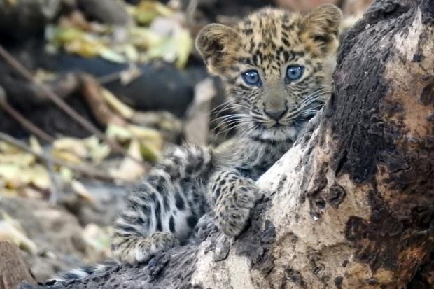 Báo đốm được sư tử mẹ nhận nuôi, chăm bẵm như con ruột, thậm chí còn sống cực kỳ hòa thuận với anh chị khác loài - Ảnh 4.