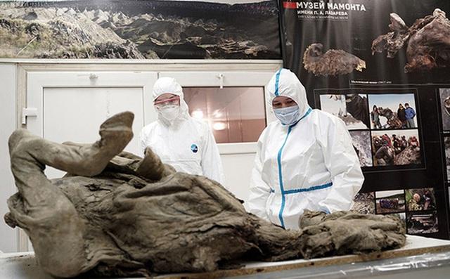 Nga 'truy tìm' virus thời tiền sử trong xác ngựa bị chôn vùi 4500 năm dưới băng vĩnh cửu