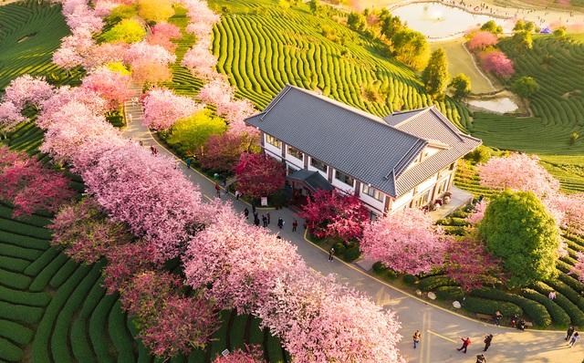 24h qua ảnh: Hoa anh đào nở rực rỡ trong nắng ấm ở Trung Quốc