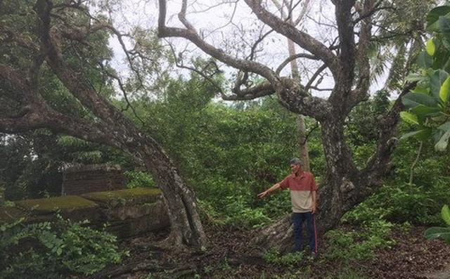 Giai thoại ly kỳ về cây thị và hai ngôi mộ cổ ở Tiền Giang