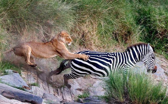 24h qua ảnh: Sư tử đói phi thân vồ ngựa vằn