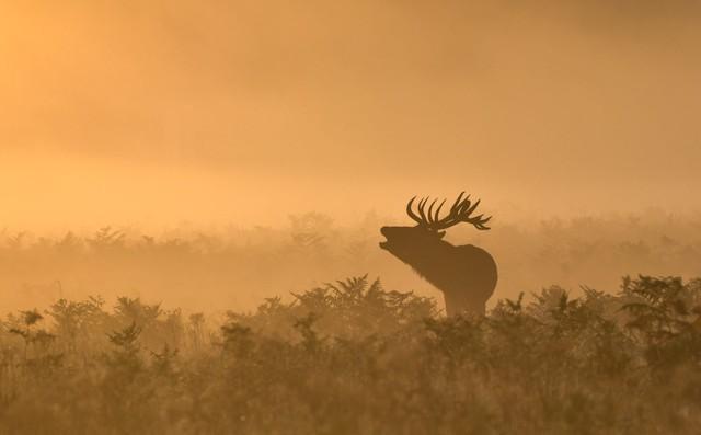 24h qua ảnh: Hươu đực gọi bạn tình trong sương sớm mùa thu