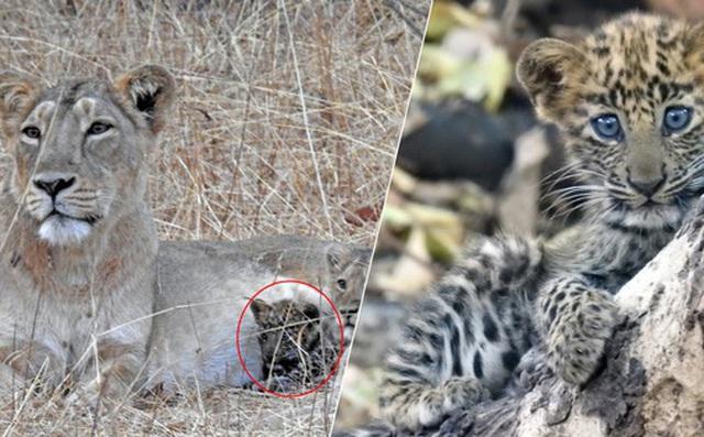 """Báo đốm được sư tử mẹ nhận nuôi, chăm bẵm như con ruột, thậm chí còn sống cực kỳ hòa thuận với """"anh chị"""" khác loài"""