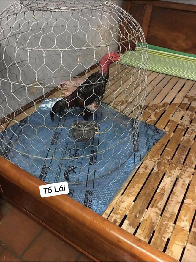 Trời mưa ngập sân, ông chồng xách chuồng gà đặt lên giường ngủ khiến cô vợ điên tiết - Ảnh 2.