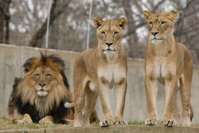 """Nhà động vật học: Phim """"The Lion King"""" mô tả hoàn toàn sai lầm vai trò sư tử đực trong thực tế - Ảnh 1."""