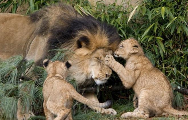 """Nhà động vật học: Phim """"The Lion King"""" mô tả hoàn toàn sai lầm vai trò sư tử đực trong thực tế - Ảnh 3."""