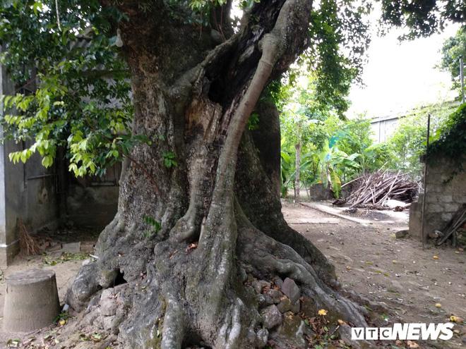 Cận cảnh 5 cây thị gần 700 tuổi được dùng để buộc voi chiến của vua Quang Trung - Ảnh 3.