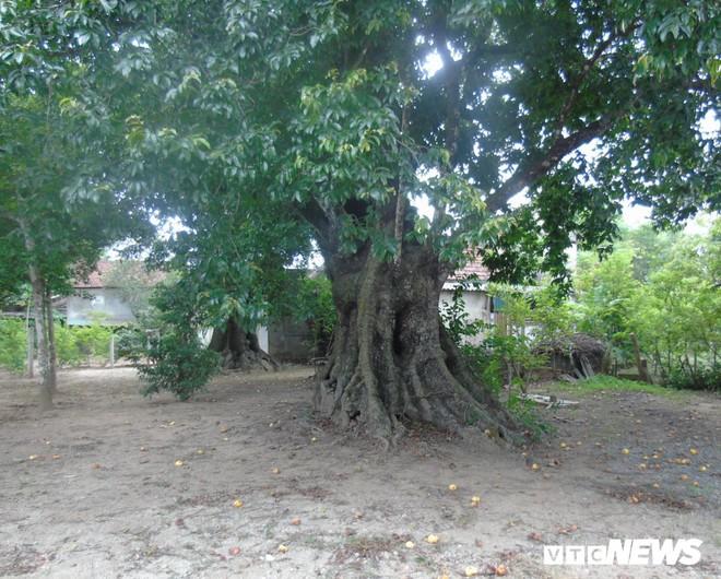 Cận cảnh 5 cây thị gần 700 tuổi được dùng để buộc voi chiến của vua Quang Trung - Ảnh 6.